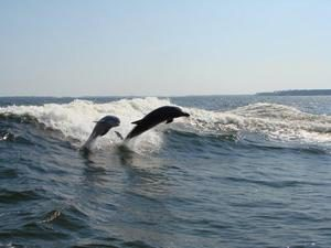 dolphinsleapinggalveston_dolphin_tours