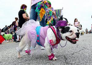 galveston tx dog and cat mardi gras kreweofbarkus