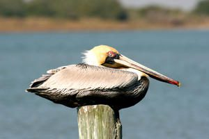 photo of pelican on post taken at featherfest in galveston island