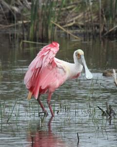 spoonbill in water in galveston island texas