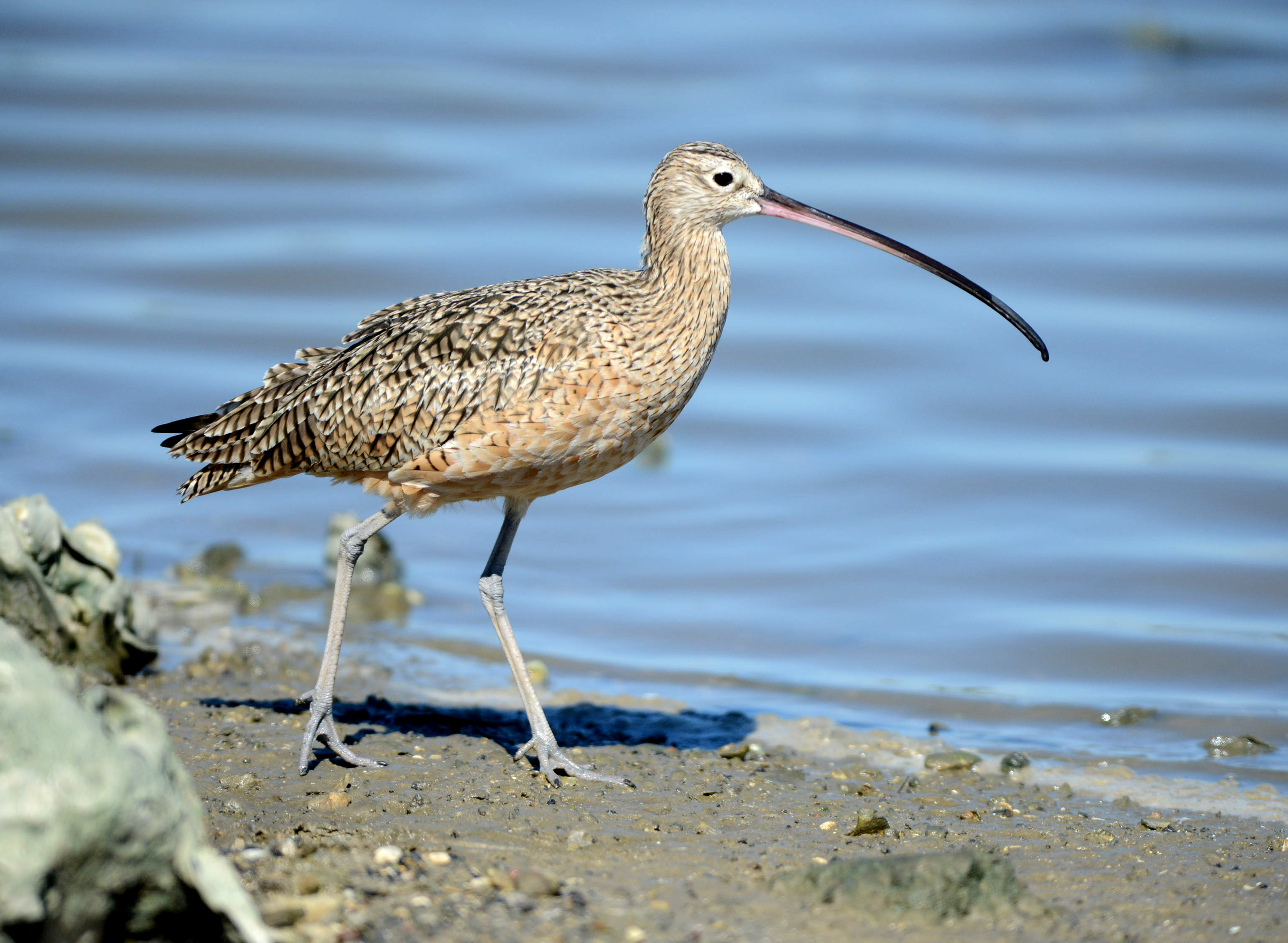 Long-billed Curlew in galveston island texas