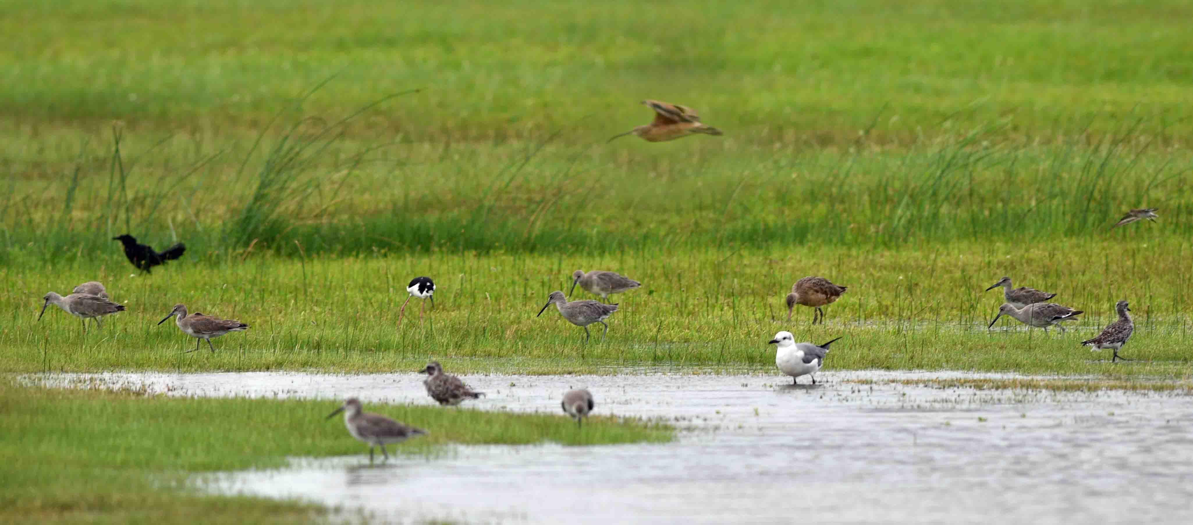 shore birds in water in galveston island texas