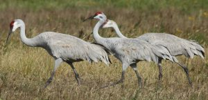 3 Texas Sandhill Cranes Walking in Grass By The Beach.