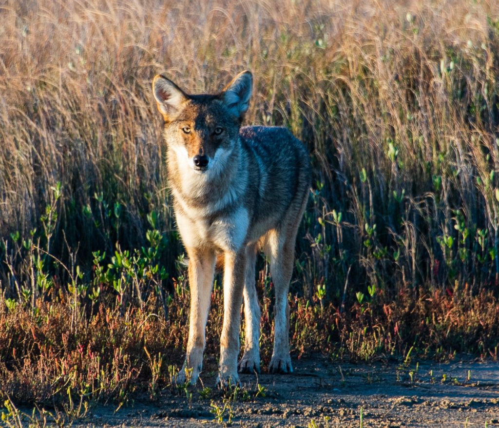 Coyote Red Wolf Hybrid against grasses Galveston Island